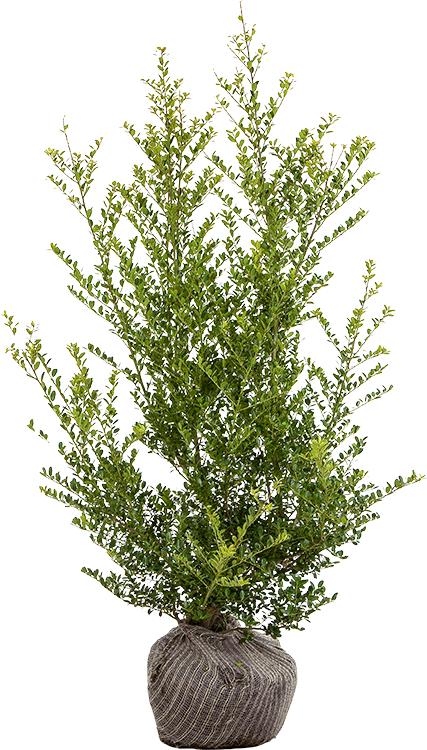 Ilex crenata 'Green Hedge' 100/125 cm