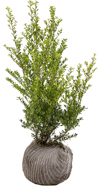 Ilex crenata 'Green Hedge' 50/60 cm