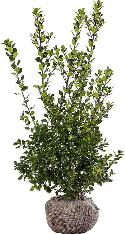 Ilex meserveae 'Blue Prince' 100/125 cm