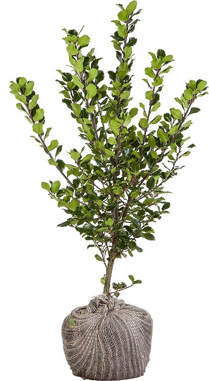 Ilex meserveae 'Blue Prince' 60/80 cm