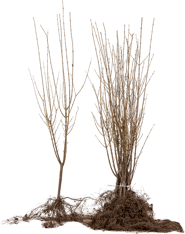 Ligustrum ovalifolium blote wortel 40/60 cm