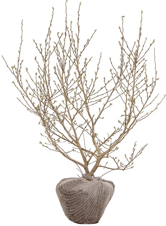 Magnolia stellata 100/125 cm