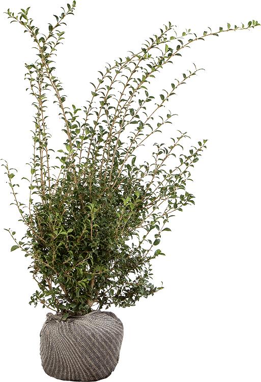 Osmanthus burkwoodii 100/125 cm extra