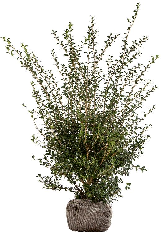 Osmanthus burkwoodii 125/150 cm