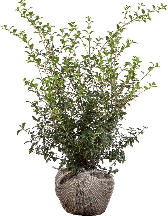 Osmanthus burkwoodii 80/100 cm