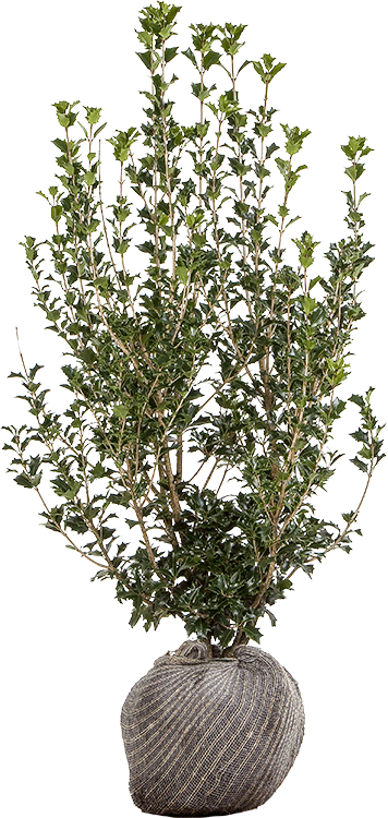Osmanthus heterophyllus 60/80 cm