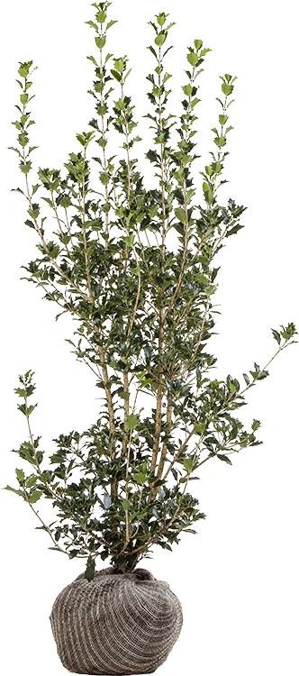 Osmanthus heterophyllus 125/150 cm