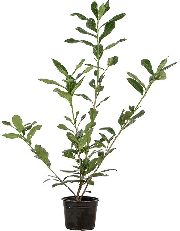 Prunus laurocerasus 'Caucasica' pot 3 liter 60/80 cm