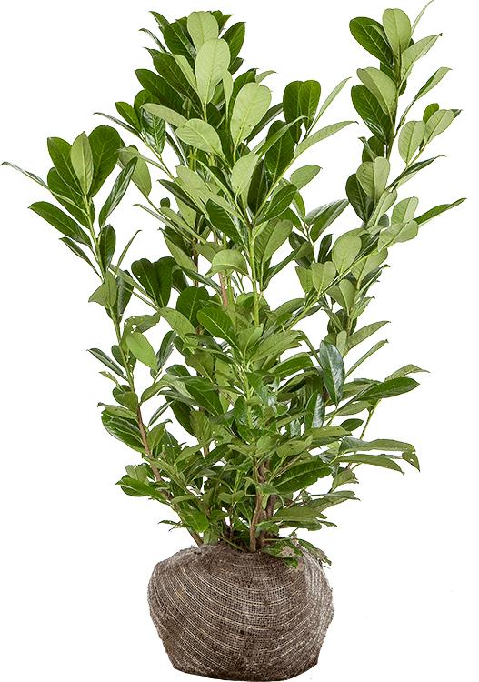 Prunus laurocerasus 'Rotundifolia' kluit 60/80 cm