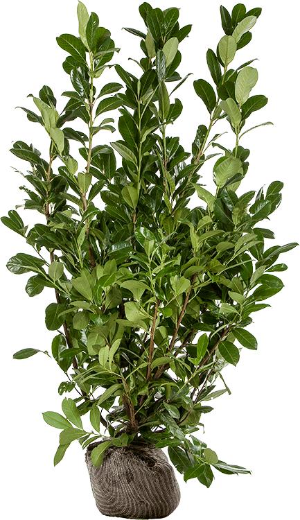 Prunus laurocerasus 'Rotundifolia' kluit 150/175 cm