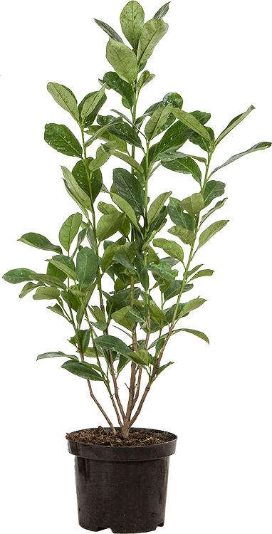 Prunus laurocerasus 'Rotundifolia' pot 3 liter 50/60 cm