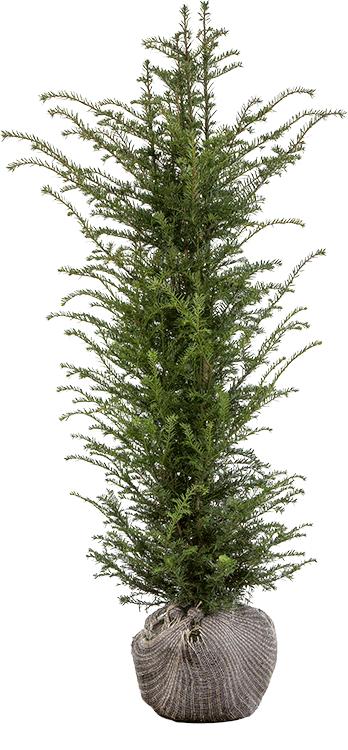 Taxus baccata kluit 125/150 cm