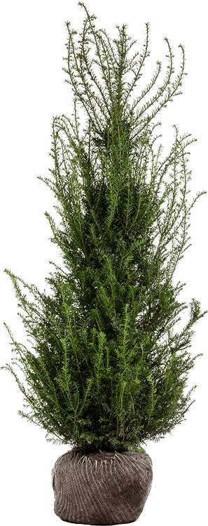 Taxus baccata kluit 150/175 cm extra