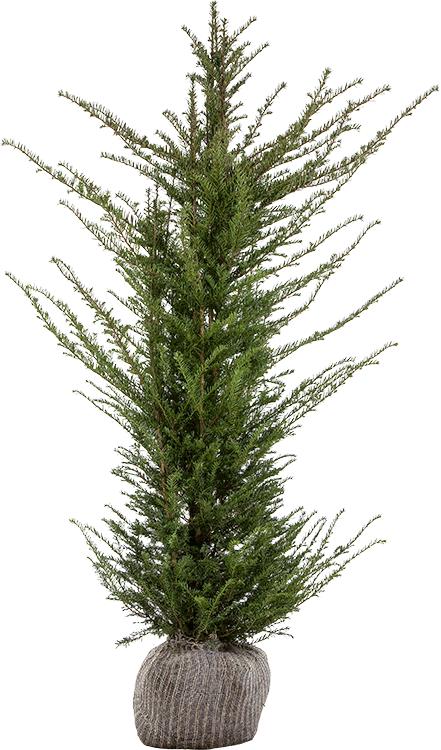 Taxus baccata kluit 150/175 cm
