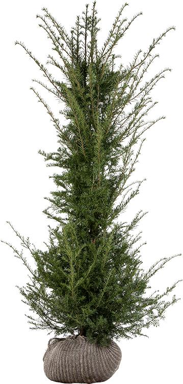 Taxus baccata kluit 175/200 cm