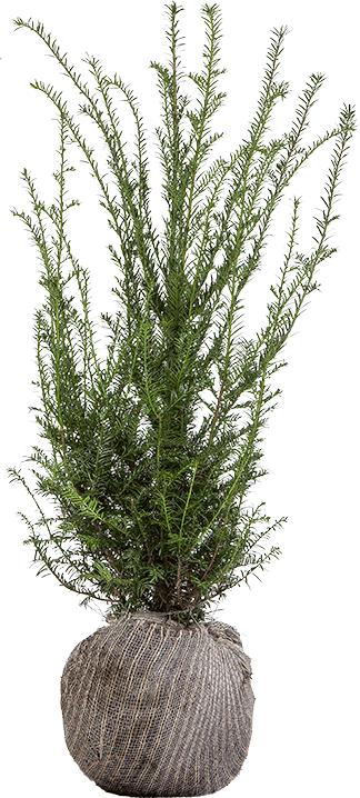 Taxus baccata kluit 60/80 cm