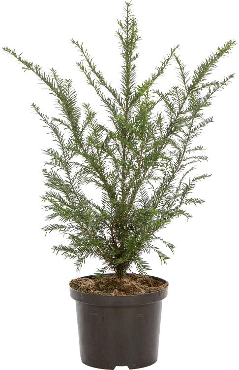 Taxus baccata pot 5 liter 60/+ cm