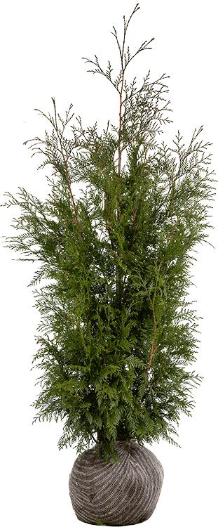 Thuja plicata 'Martin' kluit 125/150 cm