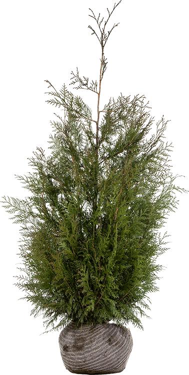 Thuja plicata 'Martin' kluit 150/175 cm