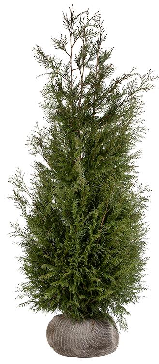 Thuja plicata 'Martin' kluit 175/200 cm