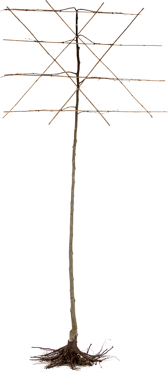 Tilia vulgaris 'Pallida' blote wortel voorgeleid