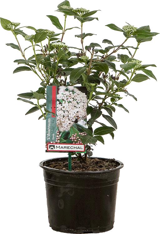 Viburnum tinus pot 2 liter 30/40 cm