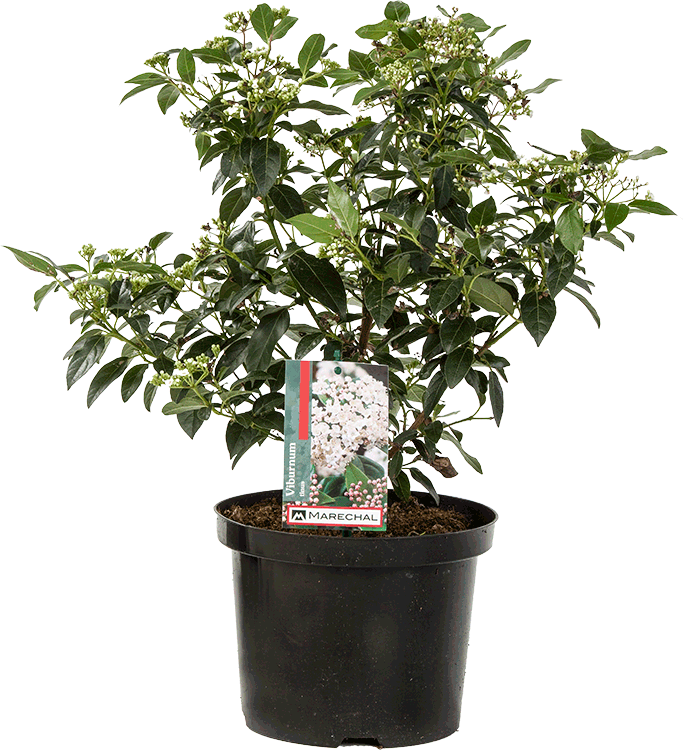 Viburnum tinus pot 5 liter 40/50 cm