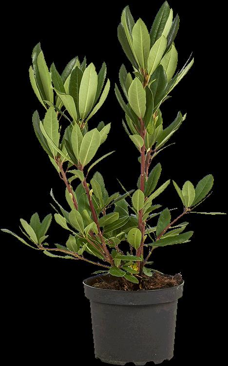 Rhododendron ponticum pot 5 liter 30/40 cm