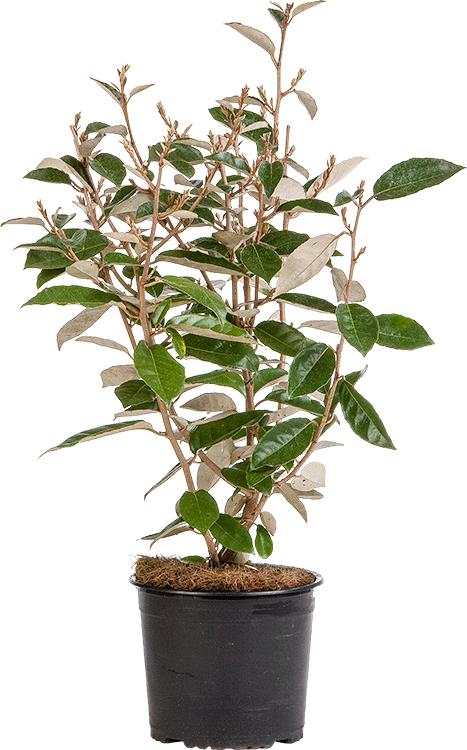 Elaeagnus ebbingei pot 3 liter 50/60 cm