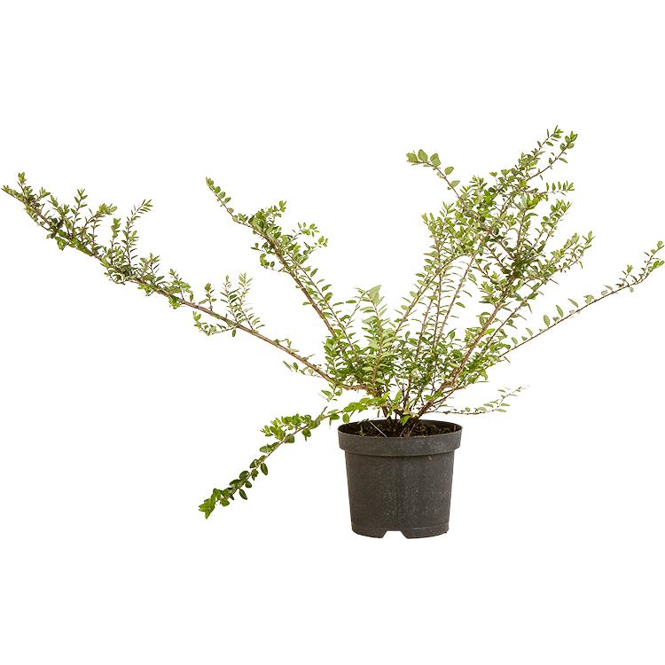 Lonicera nitida 'Elegant' pot 1 liter 25/30 cm