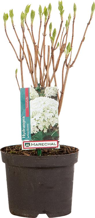 Hydrangea arborescens 'Annabelle' pot 2 liter