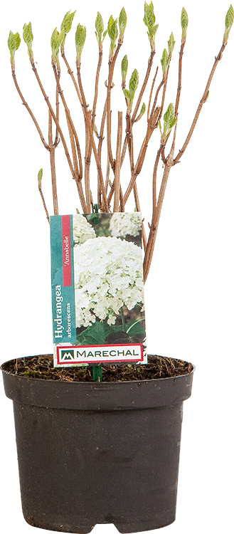 Hydrangea arborescens 'Annabelle' pot 2 liter 30/40 cm