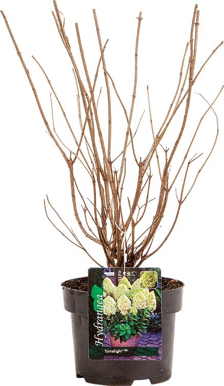 Hydrangea paniculata 'Limelight' pot 3 liter 30/40 cm