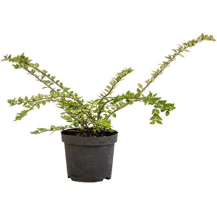 Lonicera nitida 'Maigrün' pot 1.5 liter 20/30 cm