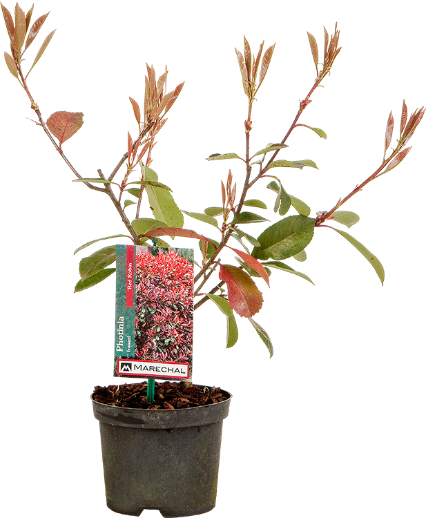 Photinia fraseri 'Red Robin' pot 1.2 liter 20/30 cm
