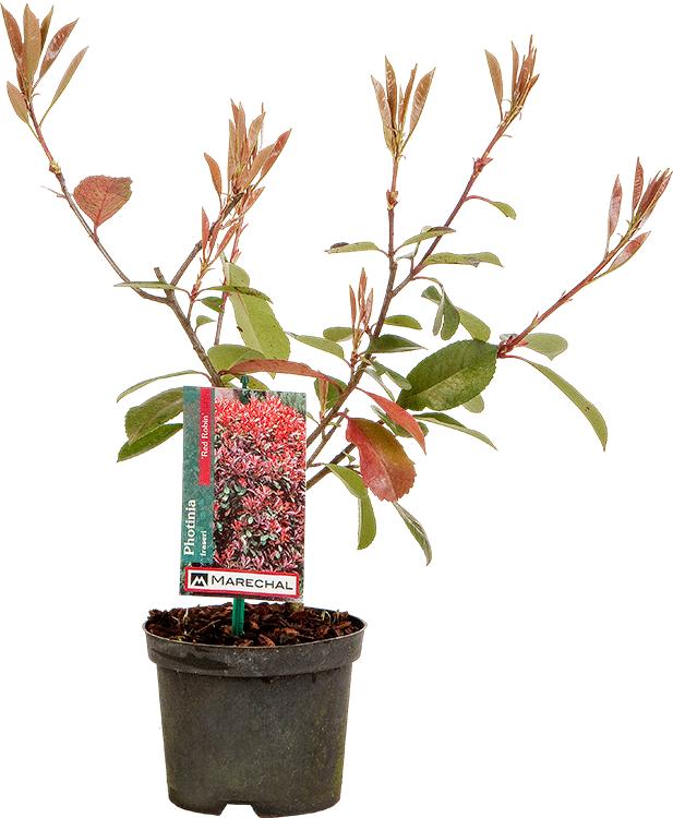 Photinia fraseri 'Red Robin' pot 1.2 liter 20/30 cm