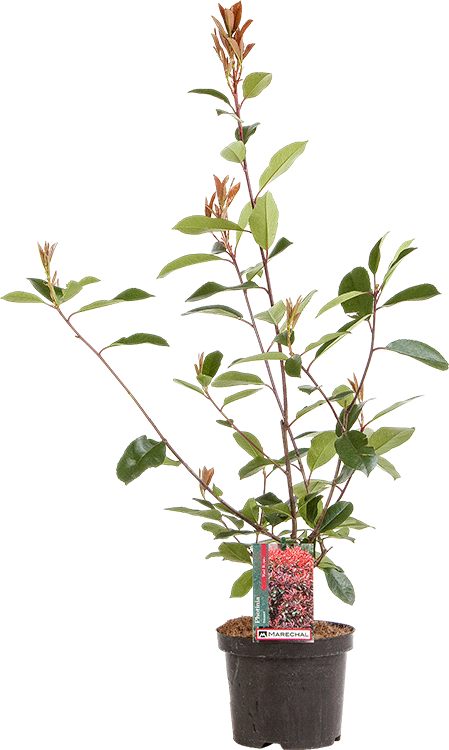 Photinia fraseri 'Red Robin' pot 5 liter 30/40 cm
