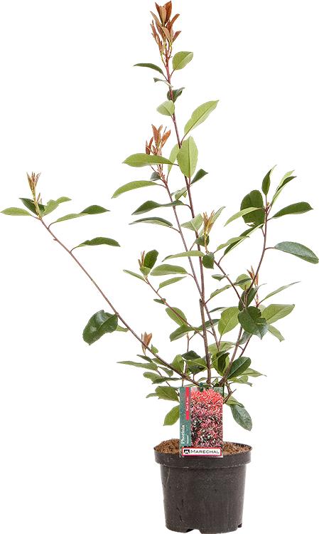 Photinia fraseri 'Red Robin' pot 3 liter