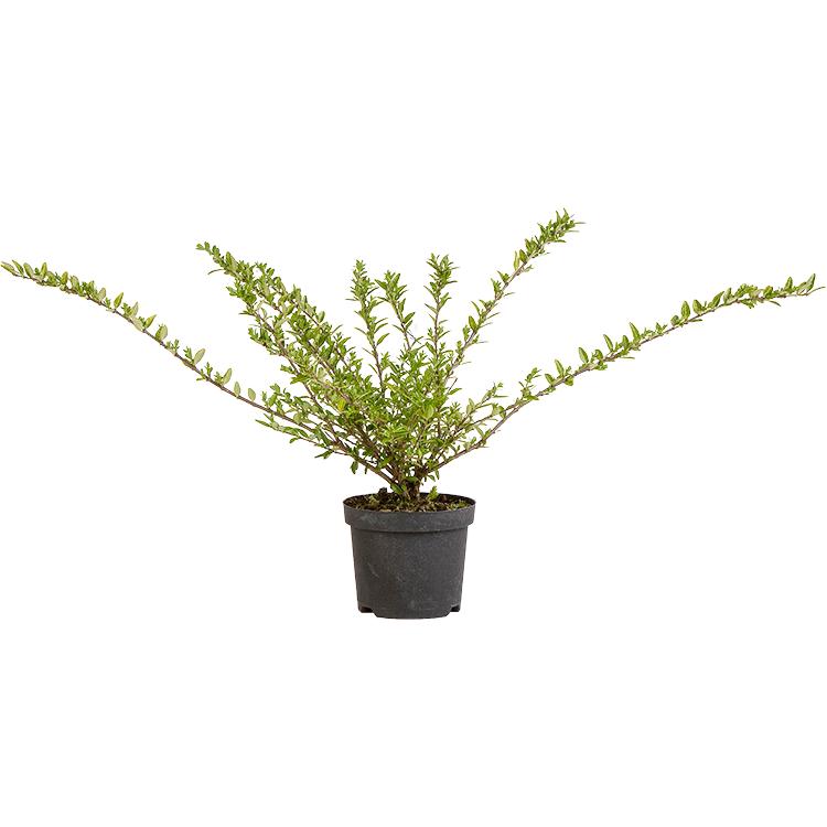 Lonicera pileata pot 3 liter 30/40 cm