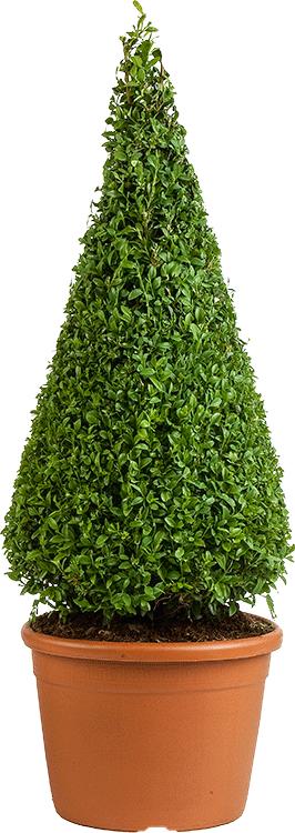 Buxus sempervirens kegel 80 cm