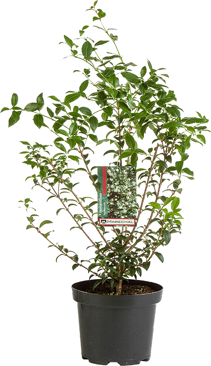 Osmanthus burkwoodii pot 5 liter 40/50 cm