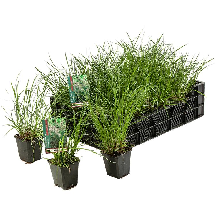 Pennisetum alopecuroides 'Hameln' pot 9 cm