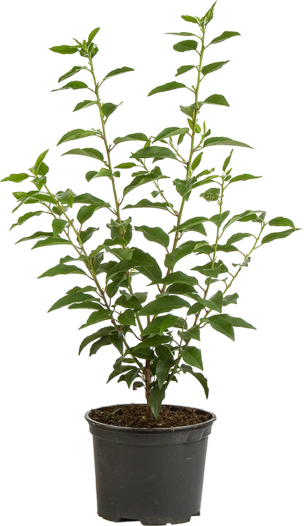 Prunus lusitanica 'Angustifolia' pot 3 liter 40/50 cm