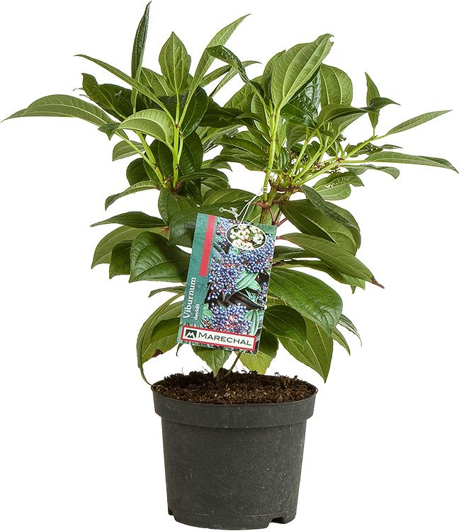 Viburnum davidii pot 2 liter 25/30 cm