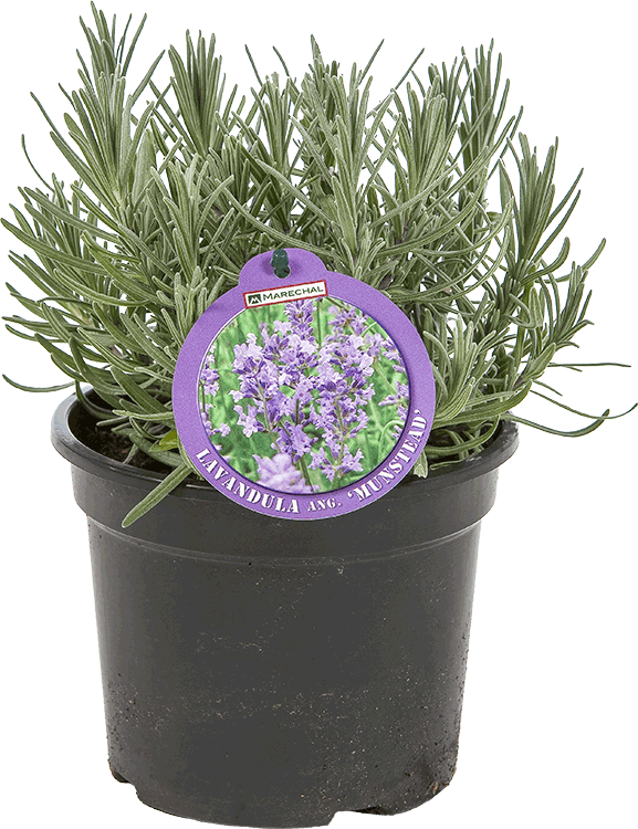 Lavandula angustifolia 'Munstead' pot 1 liter