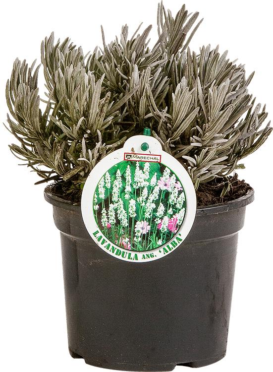 Lavandula angustifolia 'Alba' pot 1.5 liter