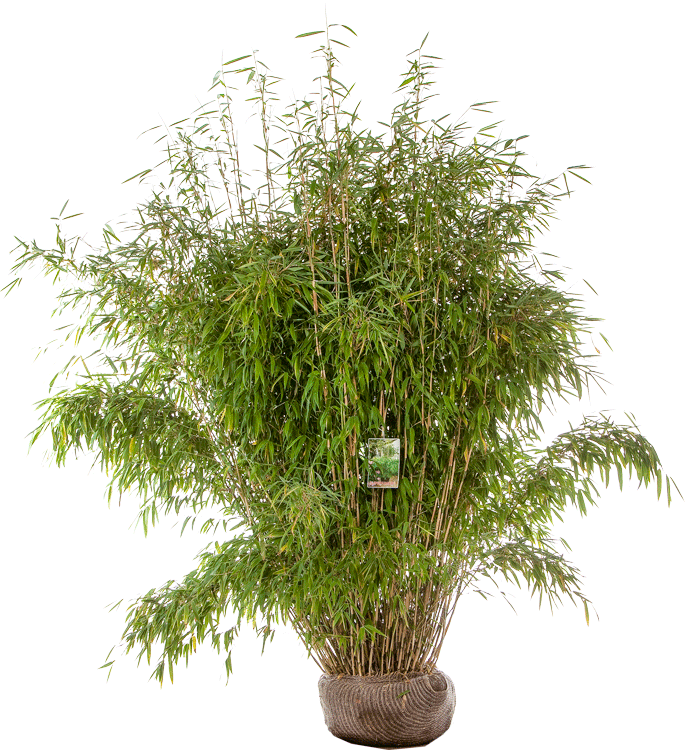 Fargesia murieliae 'Superjumbo' 150/175 cm