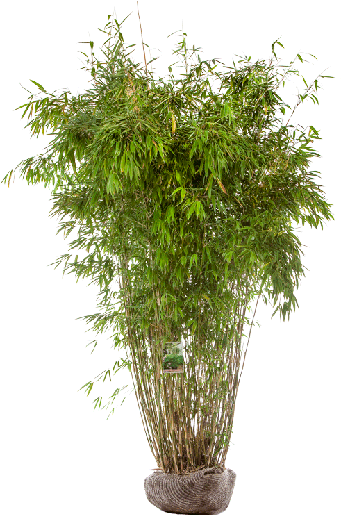 Fargesia murieliae 'Superjumbo' 175/200 cm