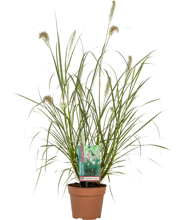 Pennisetum alopecuroides 'Hameln' pot 2 liter