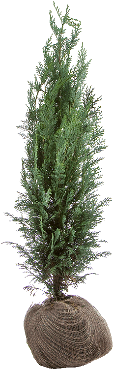 Chamaecyparis lawsoniana 'Columnaris' kluit 100/125 cm